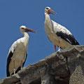 Ciconia ciconia - Weißstorch (Paar))