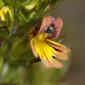 Zwerg-Augentrost (Euphrasia minima agg.)