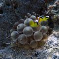 Amphiprion bicinctus - Rotmeer-Anemonenfisch (juv) auf Entacmaea quadricolor
