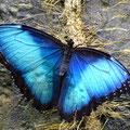Einer der schönsten Schmetterlinge Costa Ricas - Blauer Morpho - Morpho peleides