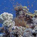 Wo ist Nemo? ;) Korallen-Riff