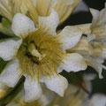 Bursers Enzian (Gentiana burseri)