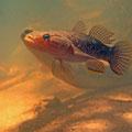 Ein mir noch unbekannter Fisch im Fond Ferdinand Nationalpark