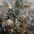 Weißstachlige Mannstreu (Eryngium spinalba)