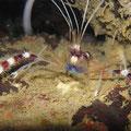 Gebänderte Scherengarnele (Stenopus hispidus)