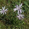Scorzonera purpurea subsp. rosea - Rosenrote Schwarzwurzel