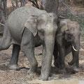 2 Asiatische Elefantenbullen (Elephas maximus)