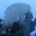 Riesen-Fächerkoralle (Annella mollis)