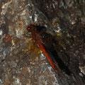 Männchen der Gefleckten Heidelibelle (Sympetrum flaveolum)