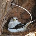Weißschwanz-Tropikvogel (Phaethon lepturus) am brüten