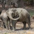 2 Asiatische Elefantenbullen (Elephas maximus) an einer Wasserstelle im Yala NP