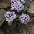 Niedrige Schleifenblume (Iberis cf. spathulata)