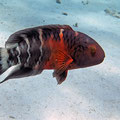 Rotbrust-Lippfisch (Cheilinus fasciatus)