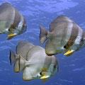 Langflossen-Fledermausfisch (Platax teira)