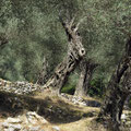 Olivenhein bei Ulcine