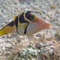 Sattel-Krugfisch (Canthigaster valentini)
