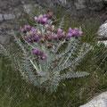 Pyrenäen-Distel (Carduus carlinoides)