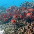Seychellen-Soldatenfisch (Myripristis seychellensis)