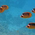 Tabak Falterfische (Chaetodon fasciatus)