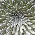 Pyrenäen-Steinbrech (Saxifraga longifolia)