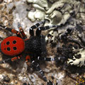 Männchen der Roten Röhrenspinne (Eresus kollari)