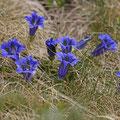 Stengelloser Silikat-Enzian (Gentiana acaulis)