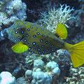 Gelbbrauner Kofferfisch (Ostracion cubicus)