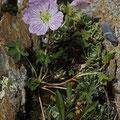 Grauer Storchschnabel (Geranium cinereum)
