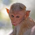 Ceylon-Hutaffe (Macaca sinica) - was der wohl von mir denkt? ;)