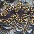 Tridacna squamosa - Schuppige Riesenmuschel