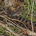 Aspisviper (Vipera aspis)