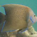 Koran-Kaiserfisch (Pomacanthus semicirculatus)