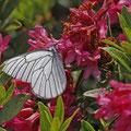 Baum-Weißling (Aporia crataegi) an Rostblättriger Alpenrose (Rhododendron ferrugineum)