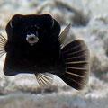 Küss mich - ich bin eine verwunschene Prinzessin :) Arabischer Kofferfisch (Ostracion cyanurus)