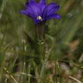 Pyrenäen-Enzian (Gentiana pyrenaica)