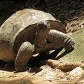 Aldabra-Riesenschildkröte (Dipsochelys dussumieri)