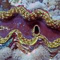 Riesenmuschel (Tridacna squamosa)