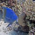 Arabischer Kaiserfisch (Pomacanthus maculosus)