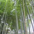 鎌倉 明月院そばの竹林