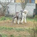 Klash en plein jeux avec ses copains Irish Wolfhound.