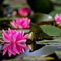 Villa Melzi a Bellagio e l'incanto delle ninfee che si specchiano nelle acque placide della fontana