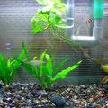 飼育魚と水草2