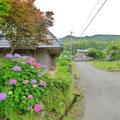福井。梅雨の季節らしいアジサイ。