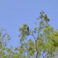 宿泊するコンドミニアムの隣の木には、日本で買うと数百万円するという黒オウムがお出迎えしてくれた。