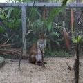 カンガルーの仲間のちょい小さいワラビーもいてます。