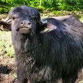 Wasserbüffelkälbchen