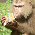 Zur Belohung gabs ne Tüte Milch, die der Affe dann schön brav in der Mülltonne entsorgte. Dies zum Anschauungsunterricht für die Thais, für die Littering eine Sportart ist...
