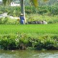 Reisfelder in der Nähe von HoiAn