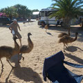 Techtelmechtel mit den Emus des Resorts