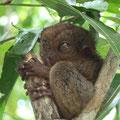 Und hier das erste kleine Kerlchen im Tarsier Park